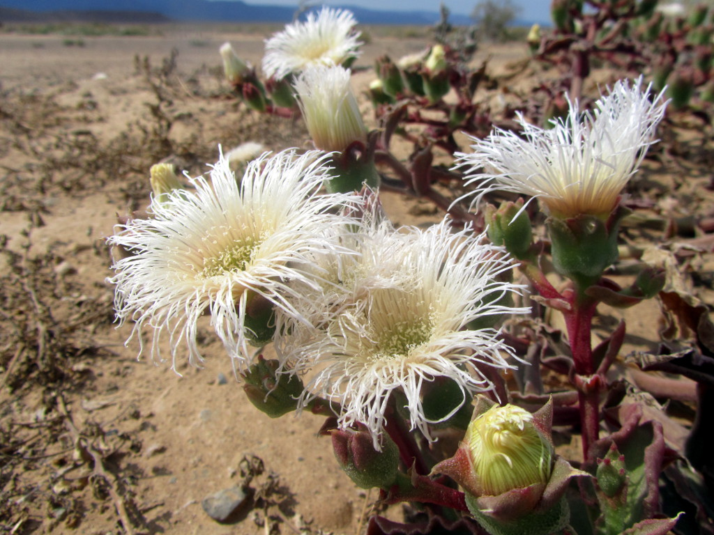 Delicately feathery white blooms in the Tankwa Karoo | Cape Hike
