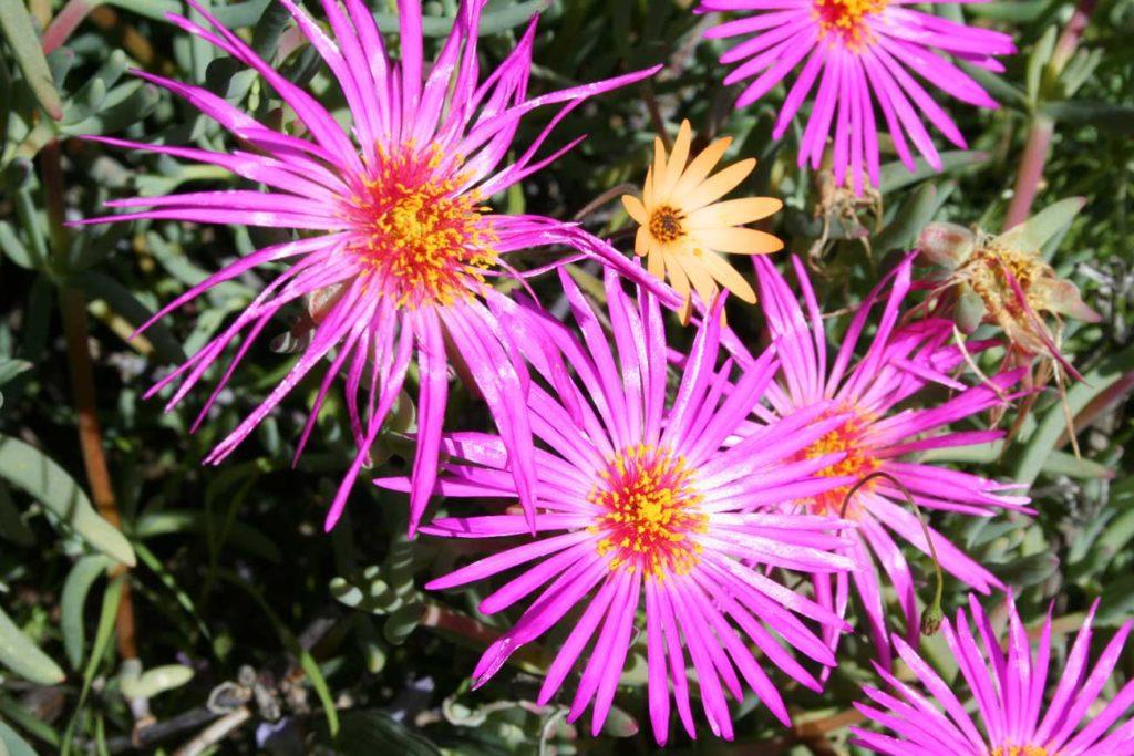 Pink wildflowers | Tankwa Karoo | Kaptstadt.org